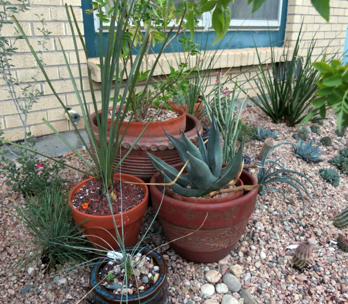 pflegeleichte gärten agave andere pflanzen kieselsteine