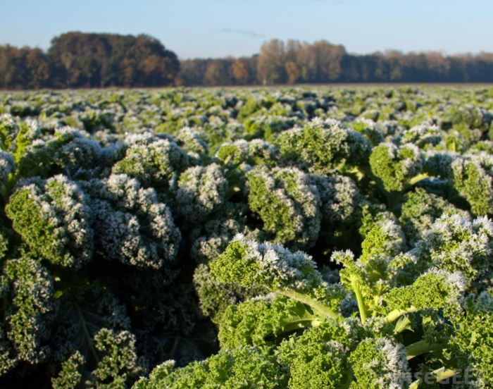Grünkohl smoothy frost