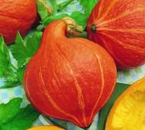 Hokkaido Kürbis- eine Frucht mit dreifachem Nutzen