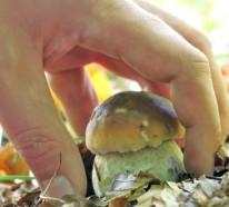 Pilze sammeln, bestimmen  und kochen
