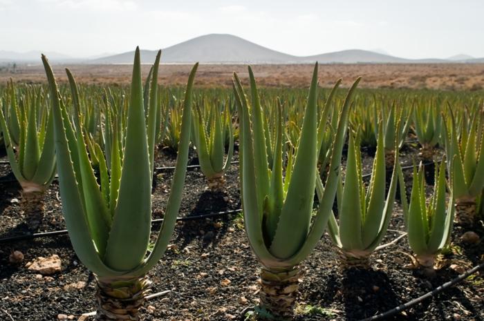 Was hilft gegen Sonnenbrand aloe vera plantage