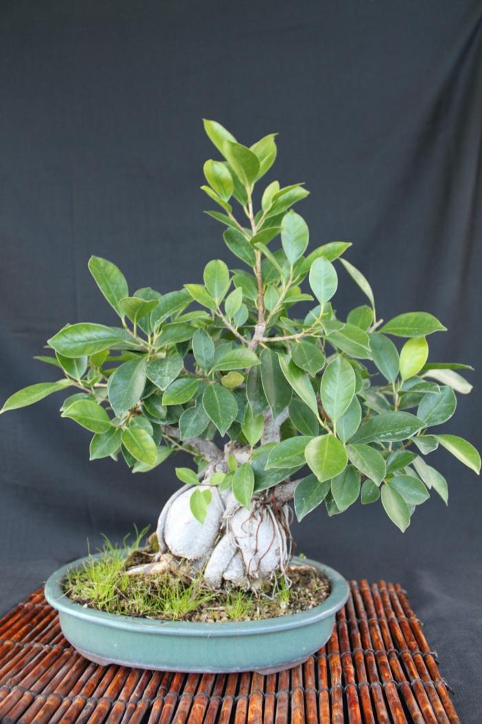 bonsai baum ideen diy passender container pflege