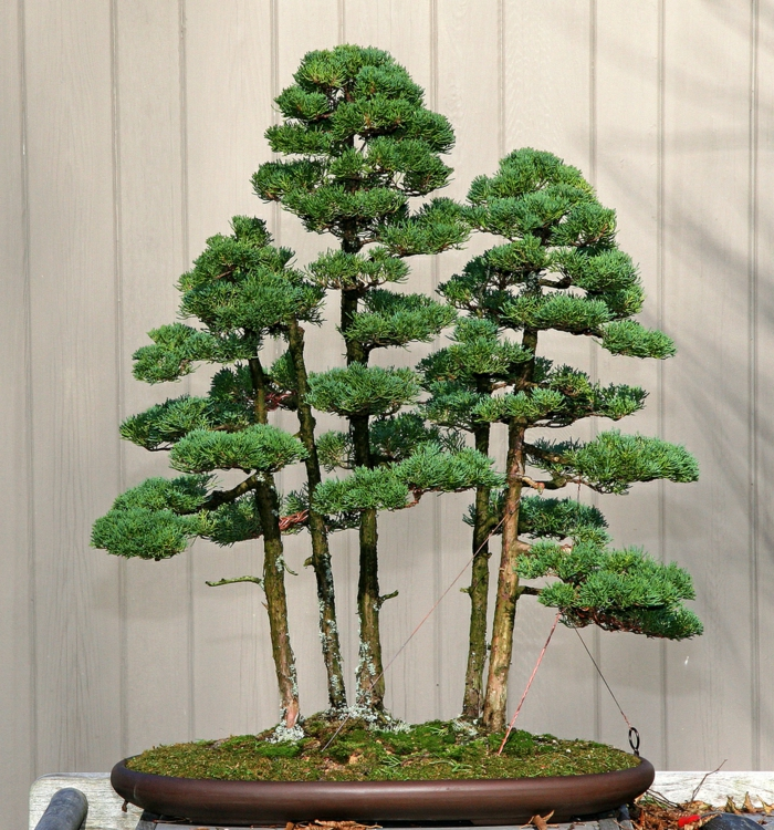 awesome bonsai baum pflege pictures. Black Bedroom Furniture Sets. Home Design Ideas
