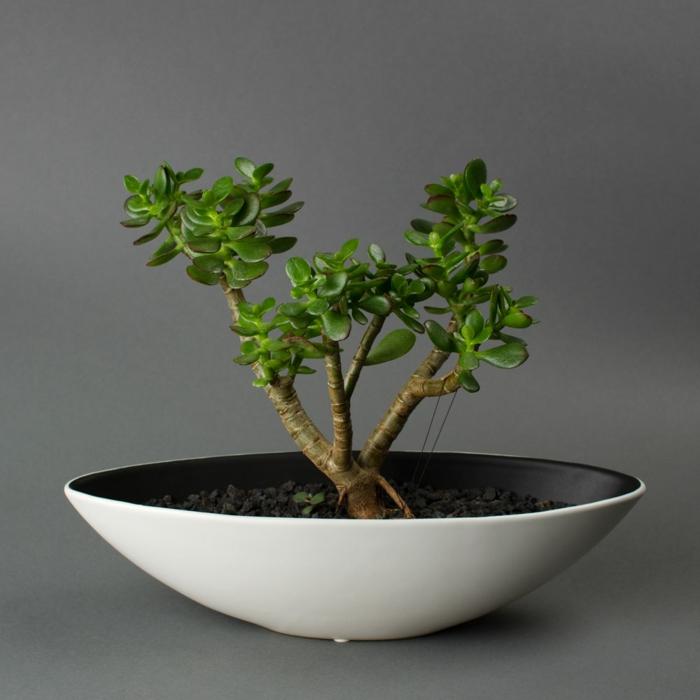 bonsai baum weißer container passende erde