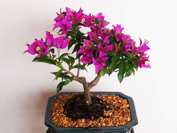 bonsai baum pflege schöne lila blüten