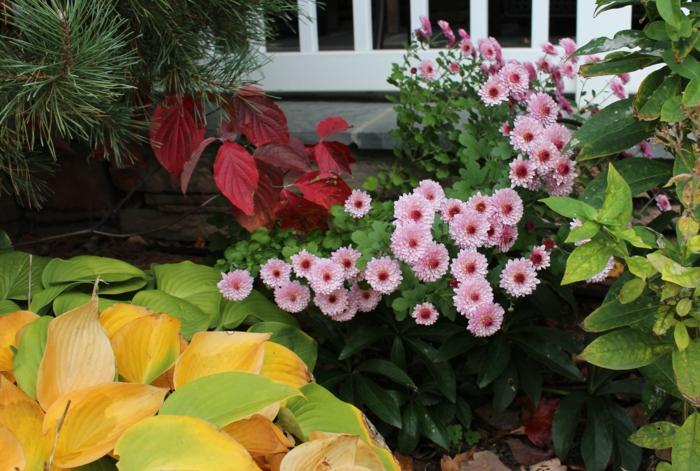 chrysanthemen herbstblumen garten gartenpflanzen dekoideen