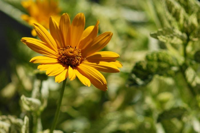 deko ideen garten Garten-Sonnenauge Heliopsis helianthoides