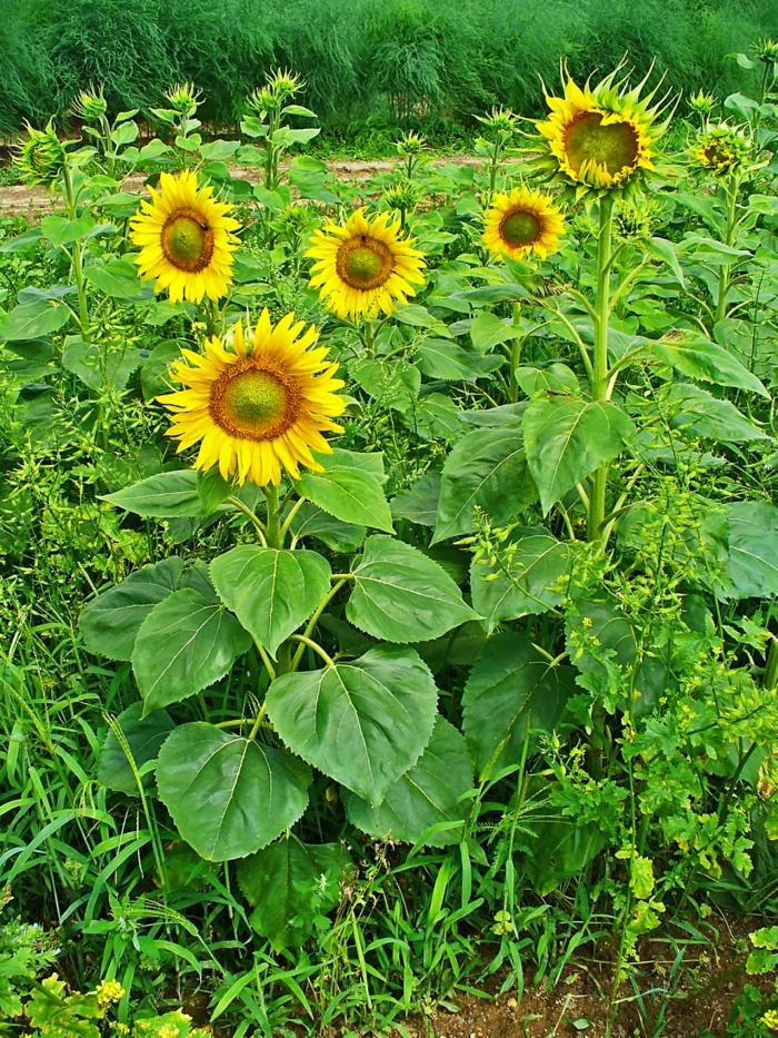 deko ideen garten gartenblumen herbst sonnenblume