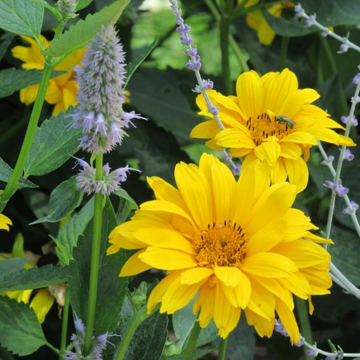deko ideen garten herbstblumen Garten-Sonnenauge