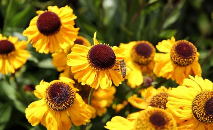 deko ideen garten herbstblumen Sonnenbraut