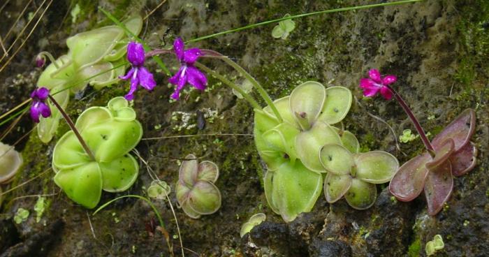 fleischressende pflanzen pinguicula moranensis