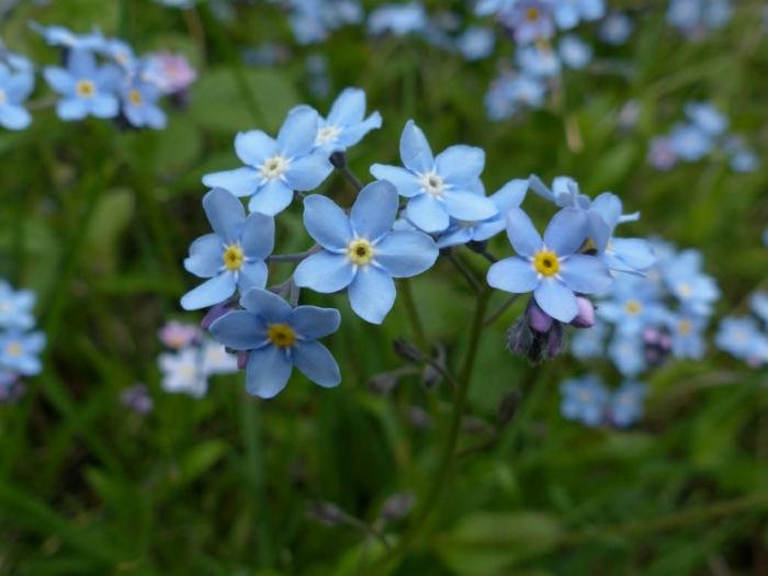 gartenpflanzen Myosotis sylvatica schöne blaue blüten