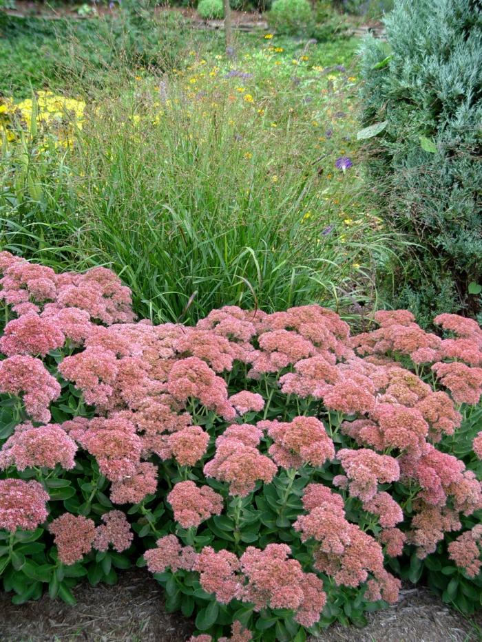 herbstpflanzen sedum gartendeko ideen gartenpflanzen garten verschönern