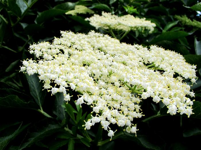 holunderblütensirup weiße blüten pflücken