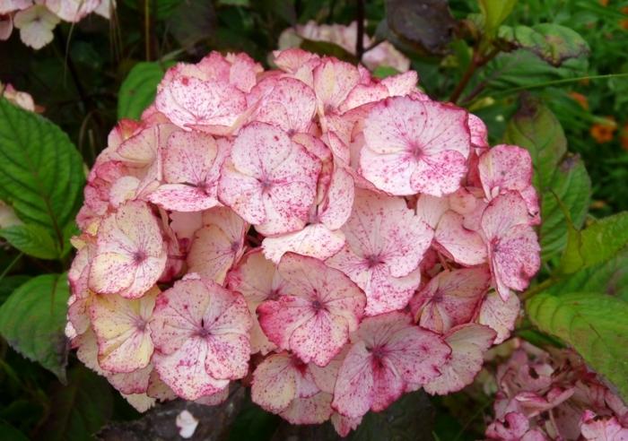 hortensien exotisch serrata preziosa
