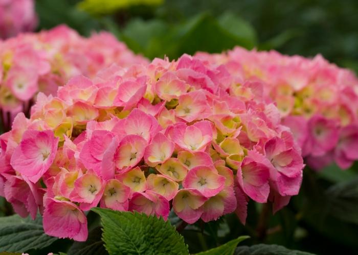 hortensien pink gelb prachtvolle blüten