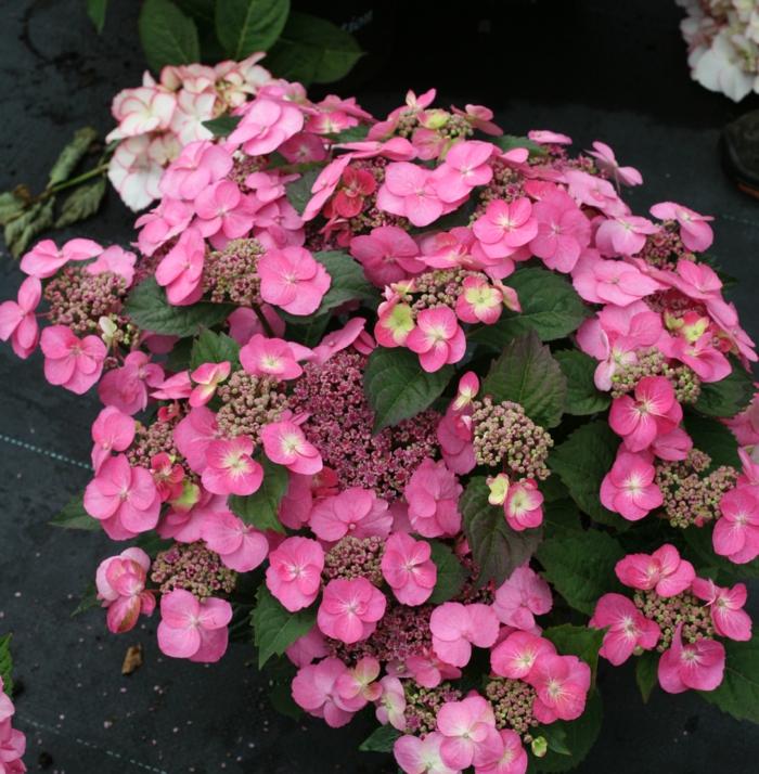 exotische hortensien sorten zum bewundern. Black Bedroom Furniture Sets. Home Design Ideas