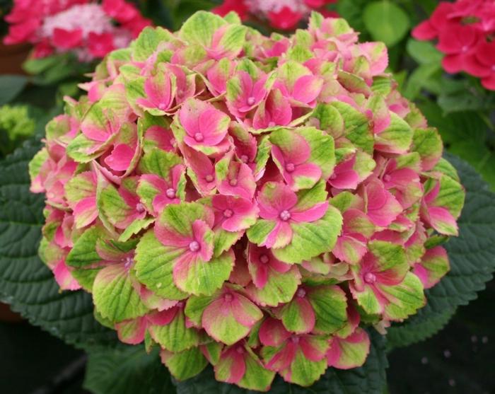 hortensien rosa grüne blüte hokomathyst