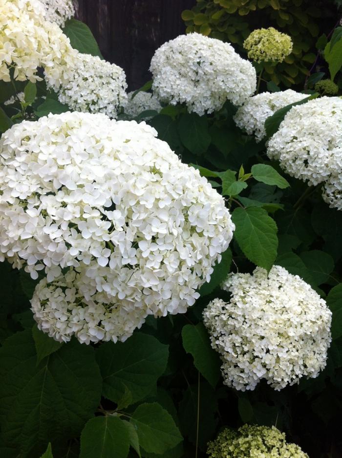 hortensien weiß annabelle
