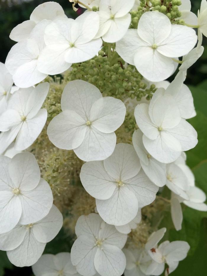 hortensien weiß gatsby gal sorte