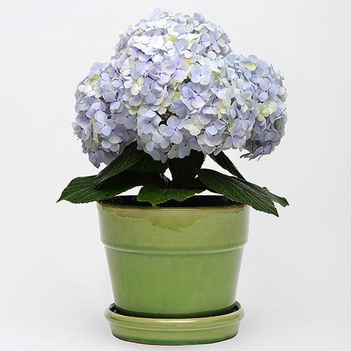 hortensien weiß lila topfblume
