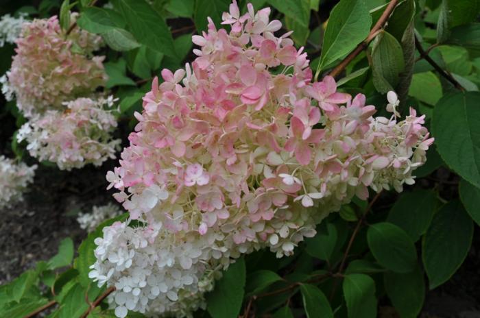 hortensien weiß rosa little lamb