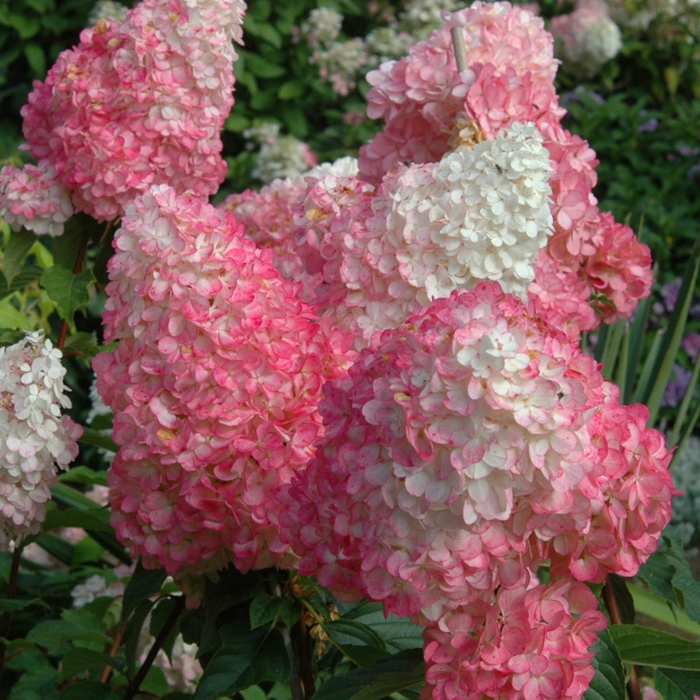 Exotische Hortensien Sorten zum Bewundern