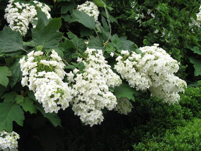 hortensien weiß schneekönigin