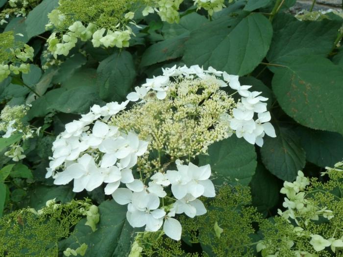hortensien weiße blüte haas halo