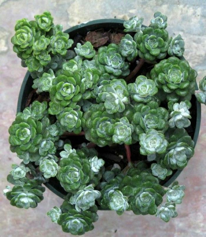 kübelpflanzen topfpflanzen sukkulenten zimmerpflanzen