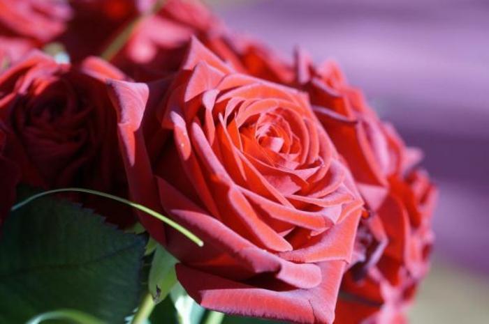rosen deko rot frische blumen