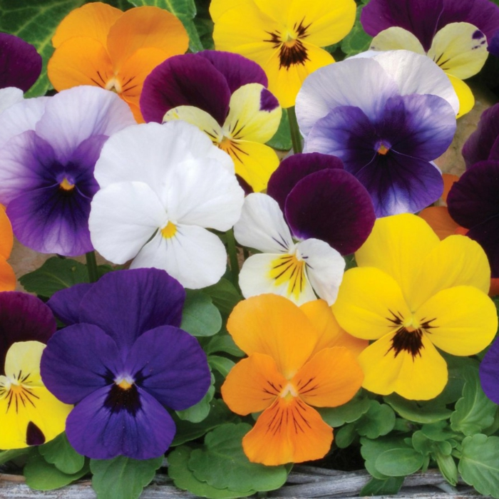 schöne haut tipps violen kräuter