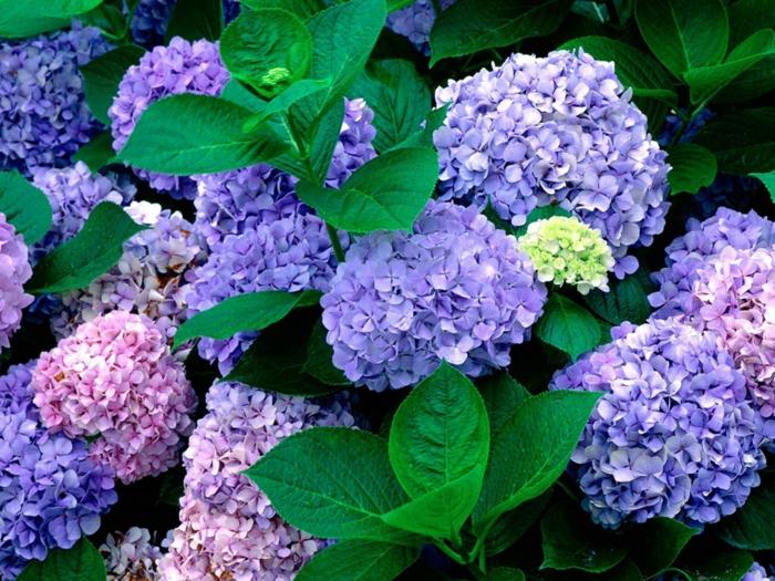 schattenpflanzen garten hortensie lila rosa