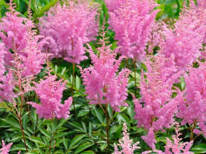 schattenpflanzen rosa blüten prachtspiere