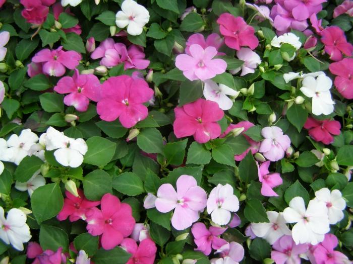 schattenpflanzen springkräuter weiß pink