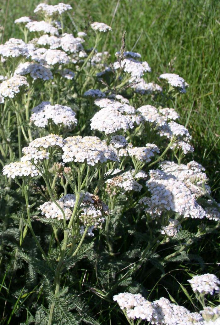 tipps für schöne haut achillea millefolium kräuter
