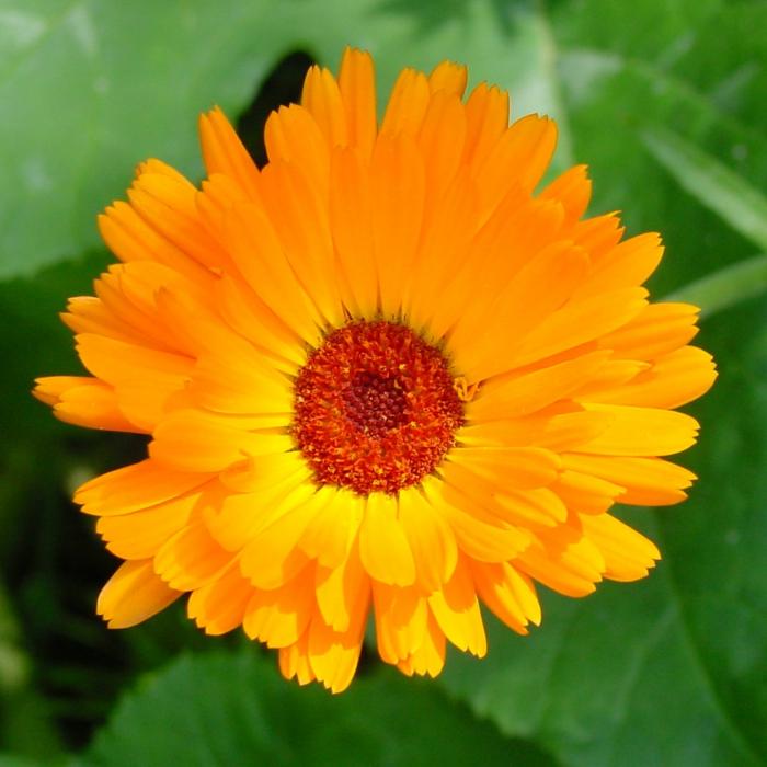 tipps für schöne haut ringelblume
