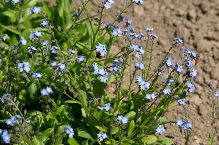 vergissmeinnicht Myosotis sylvatica winzige blüten