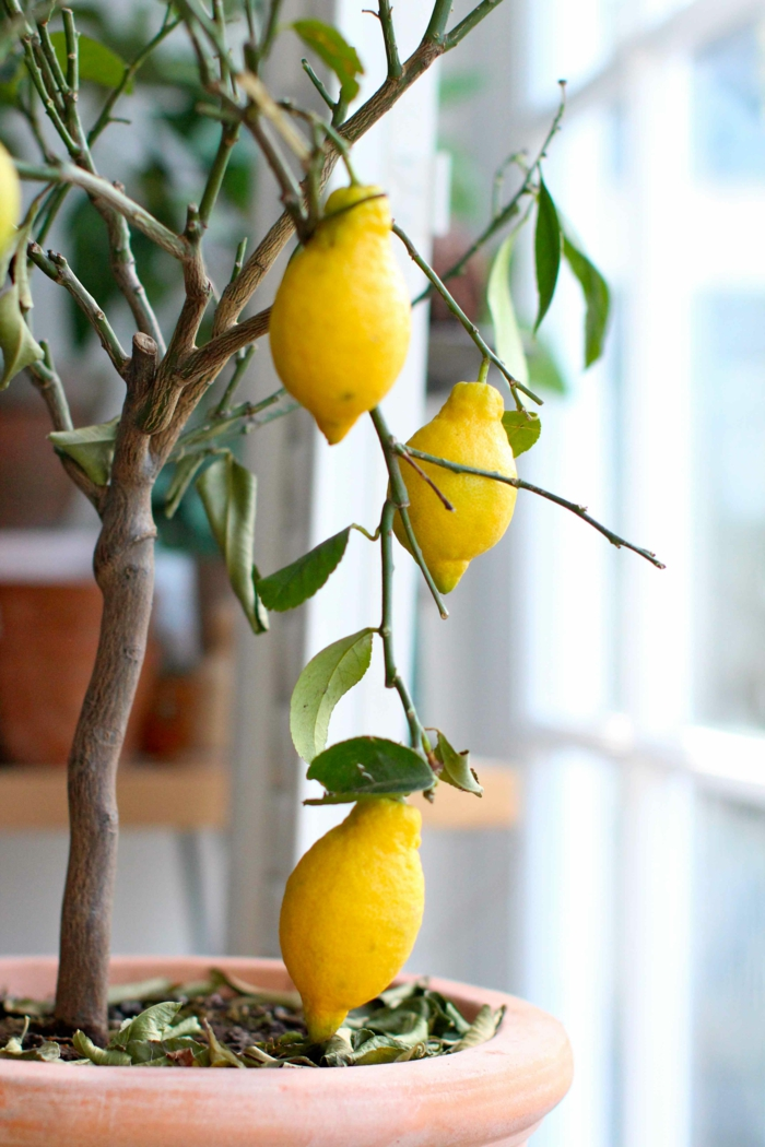 zitronenbaum pflege blumentopf zimmerpflanzen richtige pflege