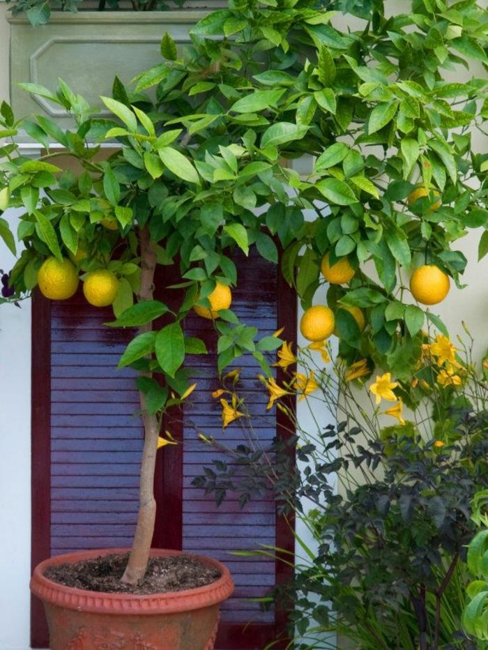 zitronenbaum pflege gartenideen pflanzen