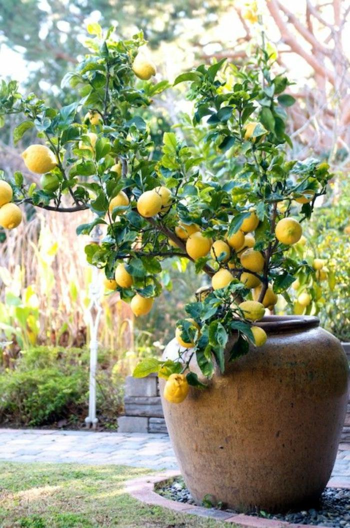 zitronenbaum pflege großer pflanzenbehälter garten gestalten