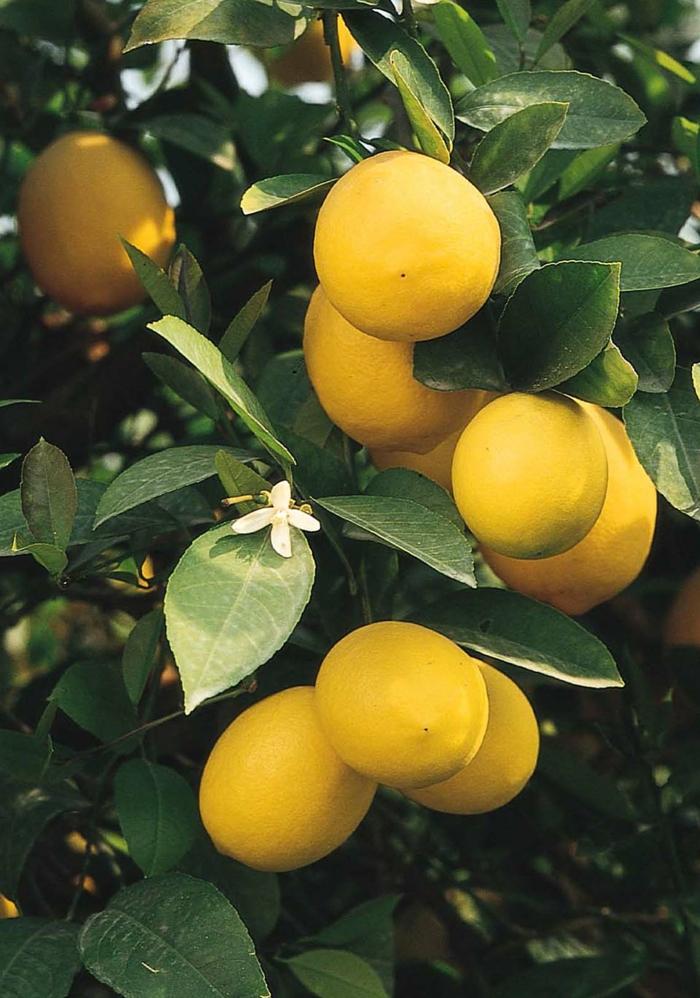 zitronenbaum pflege nützliche tipps exterieur
