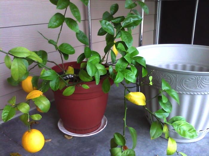 zitronenbaum pflege richtig züchten pflanzen