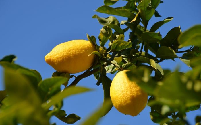 zitronenbaum richtig züchten pflanzen exterieur ideen