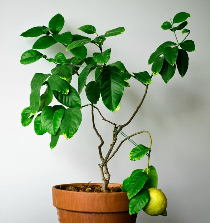 zitronenbaum pflege so z chten sie richtig einen zitronenbaum. Black Bedroom Furniture Sets. Home Design Ideas