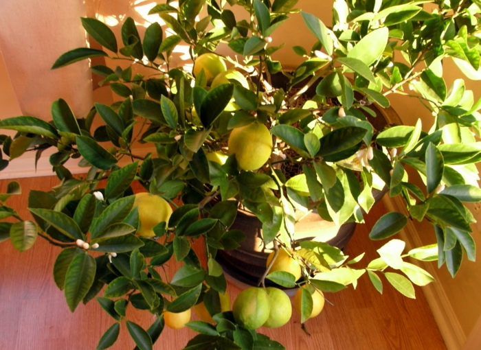 zitronenbaum zimmerpflanze richtig züchten tipps