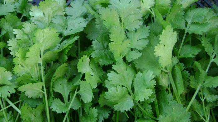Koriander Pflanzen blättergrün