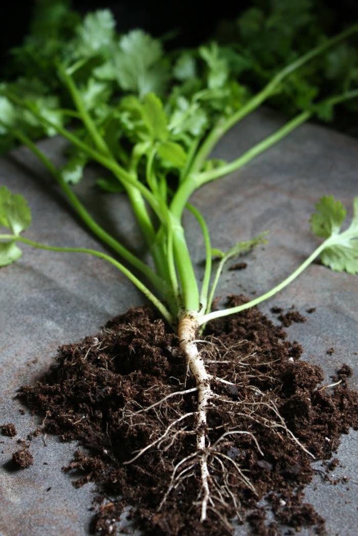 koriander pflanzen aromatisch und gesund