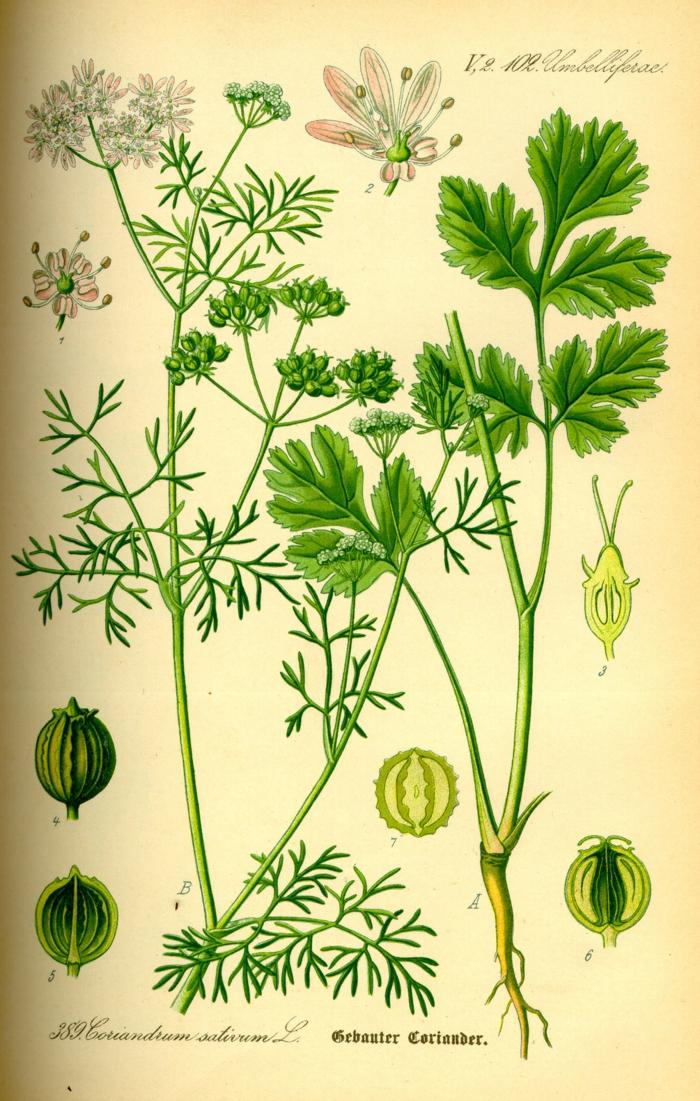 Koriander Pflanzen lexikon