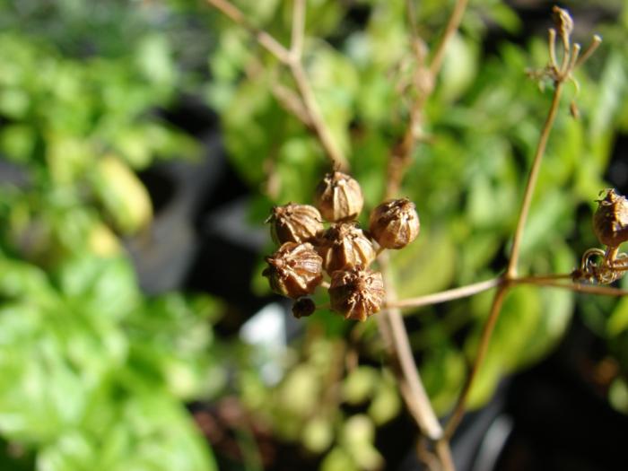 Koriander Pflanzen samen am busch
